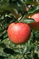 りんご園1.JPG