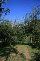 りんご園2.JPG