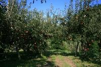 りんご園3.JPG